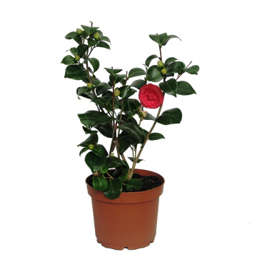 Planta De Exterior - Plantas De Sombra - Camelia M12