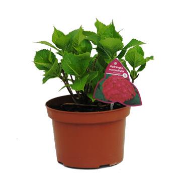 Planta De Exterior - Plantas De Sombra - Hortensia C.2,5l Colores Variados