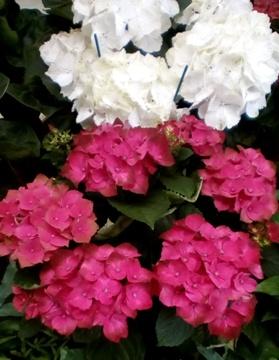 Planta De Exterior - Plantas De Sombra - Hortensia Forzada Colores Mix Maceta 17cm