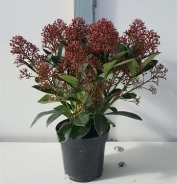 Planta De Exterior - Plantas De Sombra - Skimmia Japonica Maceta15cm Y 25cm Altura