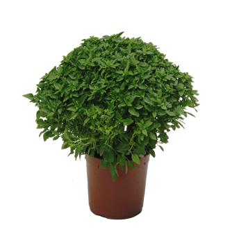 Planta De Exterior - Aromaticas - Albahaca Hoja Fina Maceta 10,5cm