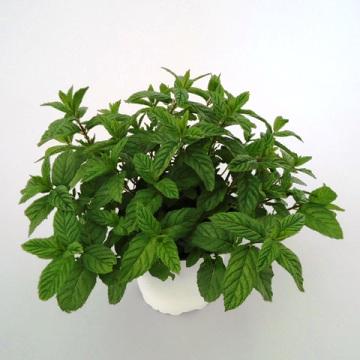 Planta De Exterior - Aromaticas - Hierbabuena Maceta10,5cm