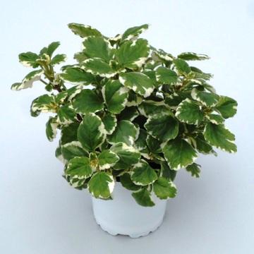 Planta De Exterior - Aromaticas - Incienso Maceta 15cm