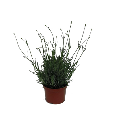 Planta De Exterior - Aromaticas - LAVANDA MACETA 10,5CM