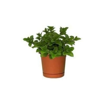 Planta De Exterior - Aromaticas - Menta Maceta 10,5cm