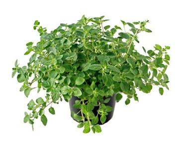 Planta De Exterior - Aromaticas - Oregano Maceta 10,5cm