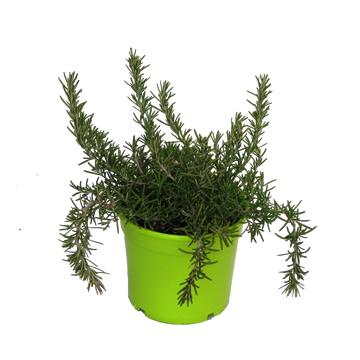 Planta De Exterior - Aromaticas - Romero Rastrero Maceta Color M14