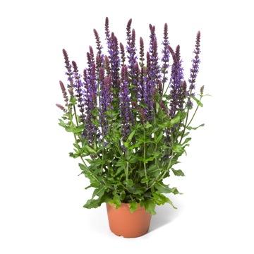 Planta De Exterior - Aromaticas - Salvia Superba Maceta 15cm