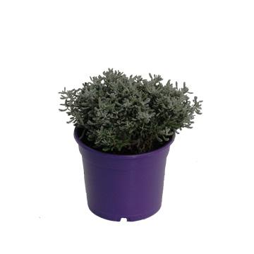 Planta De Exterior - Aromaticas - Santolina Maceta Color M14