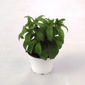 Planta De Exterior - Plantas Aromaticas Ecologicas - Stevia Ecologica Maceta 11cm