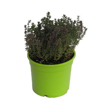 Planta De Exterior - Aromaticas - Tomillo Maceta Color M14