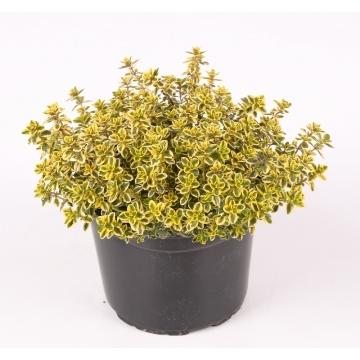Planta De Exterior - Aromaticas - Tomillo Limon Maceta 13cm