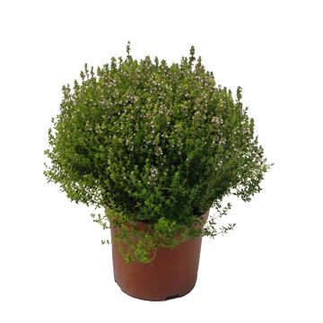 Planta De Exterior - Aromaticas - Tomillo Maceta 18cm