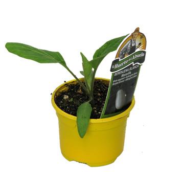 Planta De Exterior - Plantas De Huerto - Berenjena Blanca Maceta 10,5cm