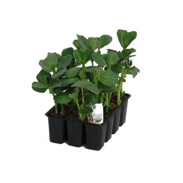 Planta De Exterior - Plantas De Huerto - Habitas Baby B12