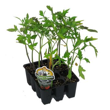 Planta De Exterior - Plantas De Huerto - Tomate Caña Andaluz Bandeja 12 Plantones