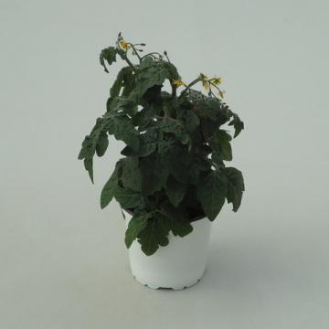 Planta De Exterior - Plantas De Huerto - TOMATE CHERRY 1L