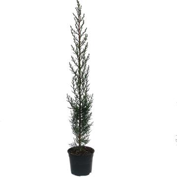 Planta De Exterior - Plantas De Seto - Cipres Seto 60/80 Cm Maceta 14