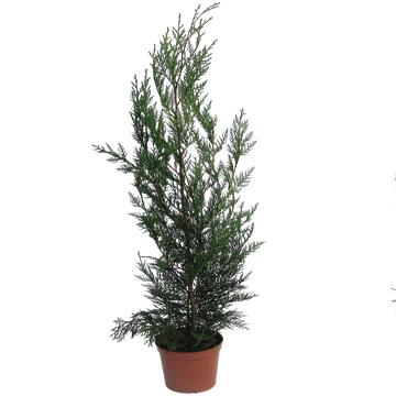 Planta De Exterior - Plantas De Seto - Leylandii 60/80 Cm Maceta 14