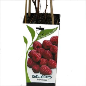Planta De Exterior - Frutales Y Frutos De Bosque - Frambuesa Roja Rubus Idaeus 2l