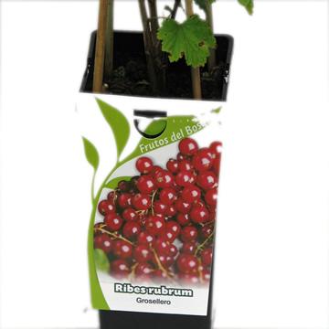 Planta De Exterior - Frutales Y Frutos De Bosque - Grosellero Rojo Ribes Rubrum 2l