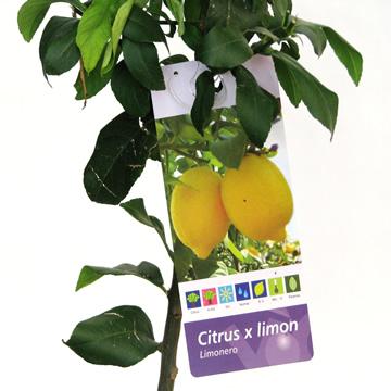 Planta De Exterior - Frutales Y Frutos De Bosque - Limonero Eureka Maceta 25cm