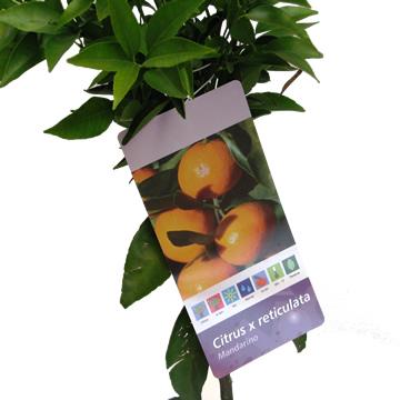 Planta De Exterior - Frutales Y Frutos De Bosque - Mandarino Maceta 25cm