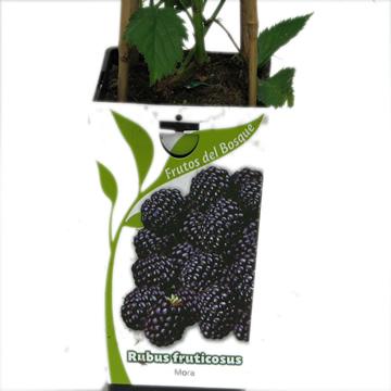 Planta De Exterior - Frutales Y Frutos De Bosque - Mora Rubus Fruticosus 2l