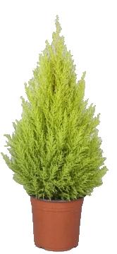 Planta De Exterior - Conifera Arbustiva - Cipres Amarillo Wilma  Altura 80cm Maceta 24cm