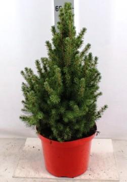Planta De Exterior - Conifera Arbustiva - Picea Glauca Conica Maceta De 20cm Y 50cm Alto
