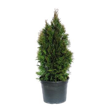 Planta De Exterior - Conifera Arbustiva - Thuya Esmeralda Maceta 17cm