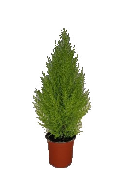 Planta De Exterior - Conifera Arbustiva - Cipres Amarillo Wilma 40cm Alto Maceta14cm