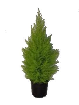 Planta De Exterior - Conifera Arbustiva - Cipres Amarillo Wilma