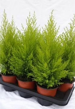 Planta De Exterior - Conifera Arbustiva - Cipres Amarillo Wilma Maceta 12cm 30cm Alto