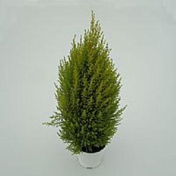Planta De Exterior - Conifera Arbustiva - Cipres Amarillo Wilma M15