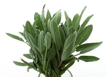 Planta De Exterior - Aromaticas - Salvia Maceta 10,5cm