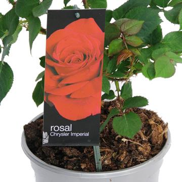 Planta De Exterior - Rosales - Rosal Perfumado Chrysler Imperial Rojo C20