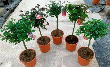 Planta De Exterior - Rosales - Rosal Copa Tradicional Maceta 20