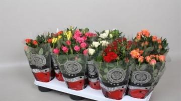 Planta De Exterior - Rosales - Rosal Mini Beau Monde Maceta 12cm Mix