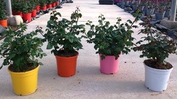 Planta De Exterior - Rosales - Rosal Miniatura Arbustivo Maceta 17cm