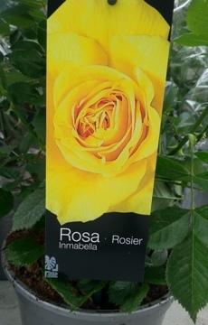 Planta De Exterior - Rosales - Rosal Perfumado Inmabella Amarillo C20