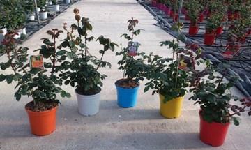 Planta De Exterior - Rosales - Rosal Varios Colores Maceta 17cm