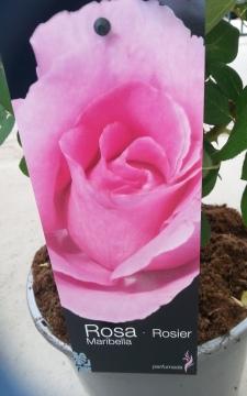 Planta De Exterior - Rosales - Rosal Perfumado Maribella Rosa C20