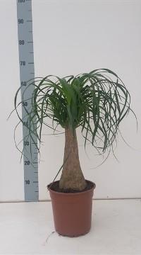 Planta De Interior - Planta Interior Hoja - Beaucarnea Recurvata Maceta 19cm Alto 50cm