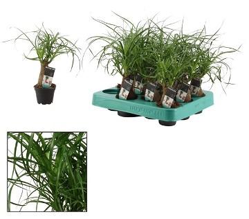 Planta De Interior - Planta Interior Hoja - Beaucarnea Recurvata Maceta 6cm