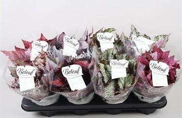 Planta De Interior - Planta Interior Hoja - Begonia Beleaf Color Maceta 12cm