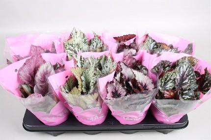 Planta De Interior - Planta Interior Hoja - Begonia Mix Color M12