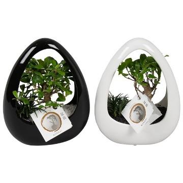Planta De Interior - Planta Interior Hoja - Bonsai Ikebana Maceta 19cm