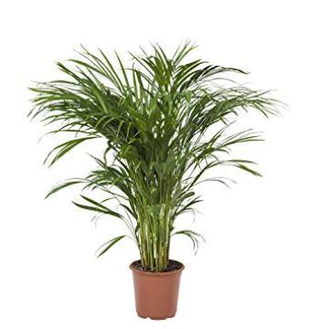 Planta De Interior - Planta Interior Hoja - Chamaedorea Elegans Altura 60cm Y Maceta 20cm