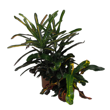 Planta De Interior - Planta Interior Hoja - Croton Mix Maceta 11cm